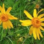 Арника– планинска цвят - Arnica montana L.
