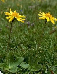 Арника – планинска  билка-  Arnica montana L.