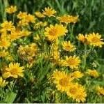 Арника – планинска лечебно растение - Arnica montana L.