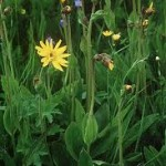 Арника – планинска стрък - Arnica montana L.