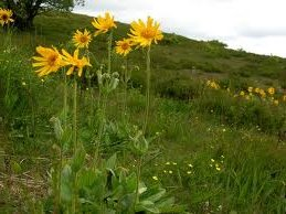 Арника – планинска  -  Arnica montana L.