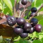 Арония билка - Aronia melanocarpa