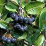 Арония дар от природата- Aronia melanocarpa