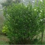 Арония лечебно растение - Aronia melanocarpa
