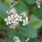 Арония цвят- Aronia melanocarpa