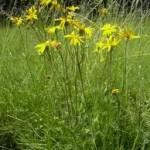 Билка Арника – планинска - Arnica montana L.