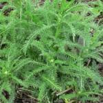 Билка Бял равнец - Achillea Millefolium