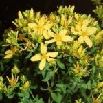 Билка Жълт кантарион - Hypericum perforatum