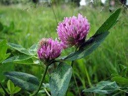 Билка Ливадна детелина - Trifolium pratense L.