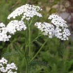 Бял равнец билка - Achillea Millefolium