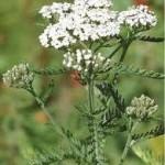 Бял равнец - Achillea Millefolium