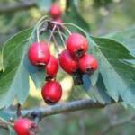 Глог плод - Crataegus monogyna