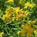 Жълт кантарион билка - Hypericum perforatum