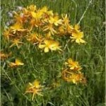 Random image: Жълт кантарион лечебно растение - Hypericum perforatum