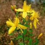Random image: Жълт кантарион стрък - Hypericum perforatum
