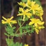 Жълт кантарион - Hypericum perforatum
