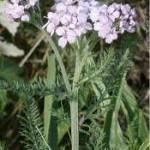 Random image: Лечебно растение  Бял равнец - Achillea Millefolium