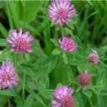 Ливадна детелина лечебно растение - Trifolium pratense L.