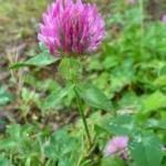 Ливадна детелина стрък - Trifolium pratense L.