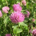 Ливадна детелина - Trifolium pratense L.