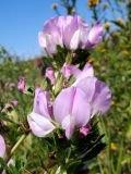 Обикновен гръмотрън лечебно растение - Ononis arvensis L. s. I.