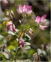 Обикновен гръмотрън стрък - Ononis arvensis L. s. I.