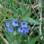 Random image: Айважива билка - Alkanna tinctoria (L.) Tausch.