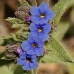 Айважива цвят- Alkanna tinctoria (L.) Tausch.