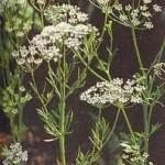 Анасон стрък - Pimpinella anisum