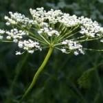 Анасон цвят- Pimpinella anisum