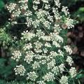 Анасон - Pimpinella anisum