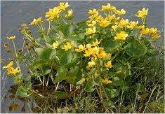 Билка Блатняк  -  Caltha palustris L.