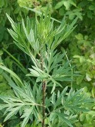 Билка Горчив пелин - Artemisia absinthium