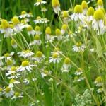 Билка - Лайка тънколистна - Matricaria chamomilla