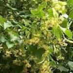 Билка Липа сребролистна - Tilia argentea Desf