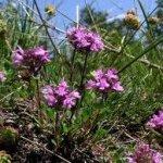 Билка Мащерка дива - Thymus serpyllum