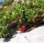 Билка Мечо грозде – Arctostaphylos uva ursi