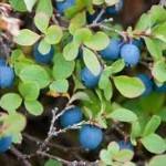 Random image: Билка Синя боровинка - Vaccinium uliginosum