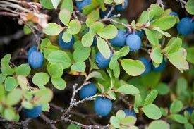 Билка Синя боровинка - Vaccinium uliginosum