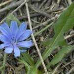 Билка Синя жлъчка - Cichorium Intybus