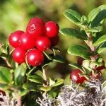 Билка Червена боровинка - Vaccinium vitis-idaea L.