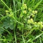 Random image: Билка Шапиче - Alchemila vulgaris L.