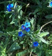 Билка айважива  -  Alkanna tinctoria (L.) Tausch.