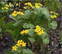 Блатняк  билка -  Caltha palustris L.