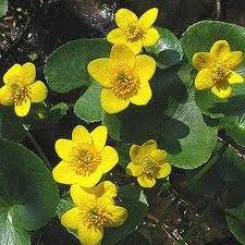 Блатняк  цвят-  Caltha palustris L.