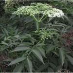 Бъз черен билка - Sambucus nigra L.