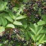 Бъз черен плод- Sambucus nigra L.