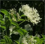 Бъз черен цвят - Sambucus nigra L.