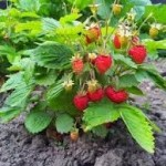 Горска ягода билка - Fragaria vesca