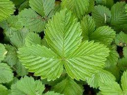 Горска ягода лист - Fragaria vesca
